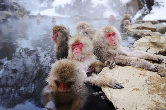 Monyet salju Jepang.
