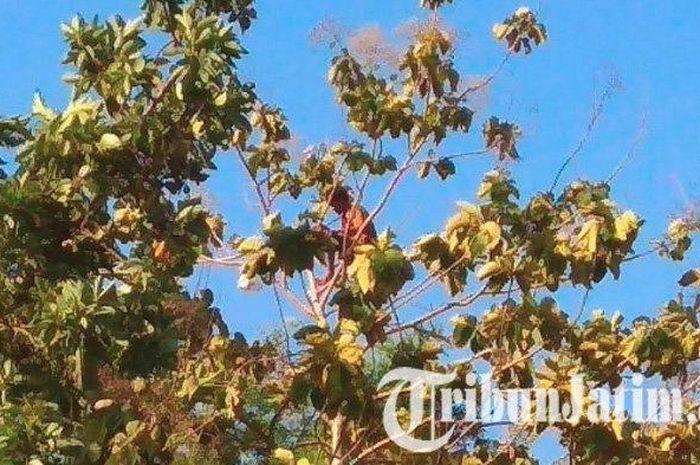 Seorang Pria di Tulungagung Menjatuhkan Diri dari Pohon Jambu Setinggi 7 Meter, Dulu Pernah Dituding ISIS hingga Alami Gangguan Jiwa