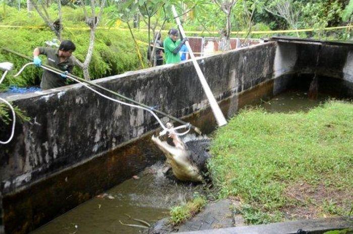 Foto evakuasi buaya yang terkam Deasy Tuwo oleh petugas BKSDA