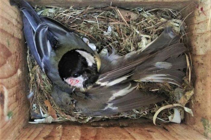 Burung great tit yang sedang memakan sikatan belang.