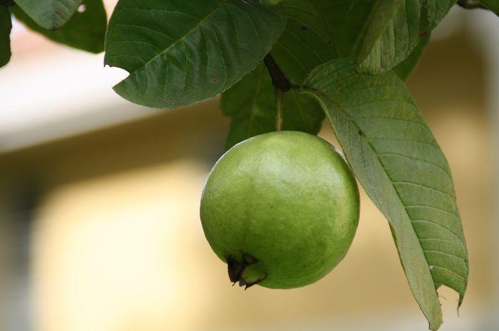 Rutin konsumsi daun jambu biji, tubuh akan alami 5 manfaat kesehatan ini