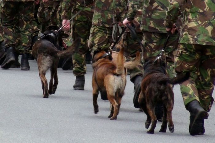 Ilustrasi anjing militer.