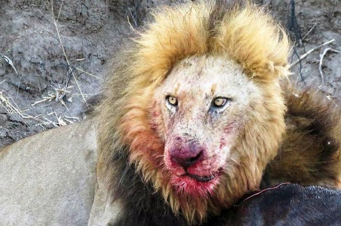 Menyusup Ke Kebun Binatang, Pria ini Tewas Mengenaskan di Kandang Singa (ilustrasi)