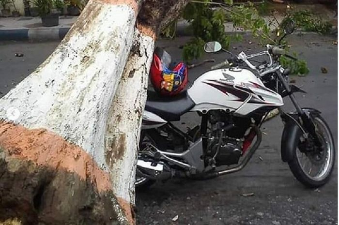 Macan Dilawan, Motor Honda Tiger Tegak Mantap Mesti Ketiban Pohon