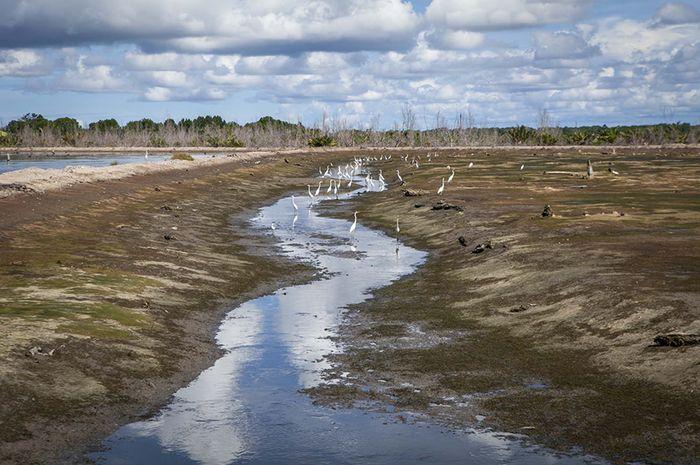 Tambak tradisional yang baru panen ini dibuka pada 1990-an dengan membabat habis hutan mangrove. Pohon-pohon yang meranggas di tepi jauh tambak menjadi saksi mangrove pernah tumbuh rimbun.