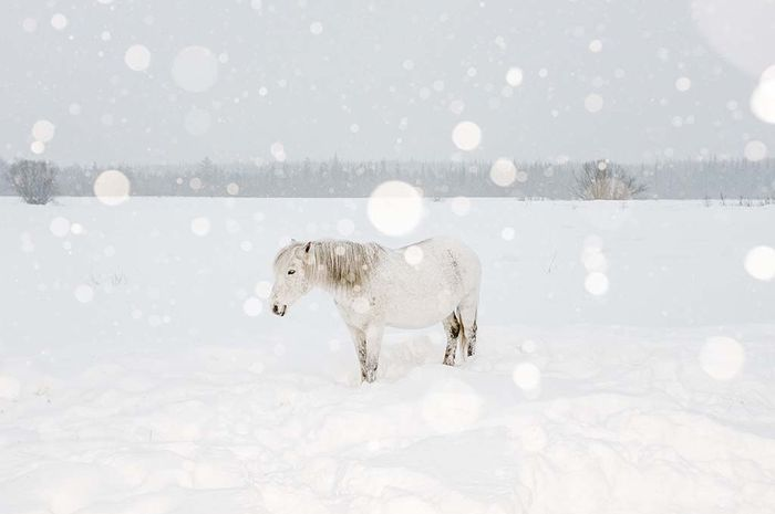 Di tengah dinginnya Maret, penduduk desa memberikan pakan dan kehangatan pada kuda-kuda setengah liar seperti betina yang bunting ini. Nantinya, para pemburu membebani kuda-kuda dengan rusa elk, rusa kutub, dan sable (sejenis cerpelai). Keluarga fotografer menamai kuda betina ini Tuchka—Awan Kecil dalam bahasa Rusia.