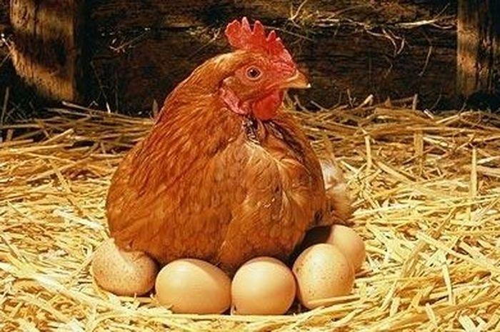 Telur ayam anti-kanker