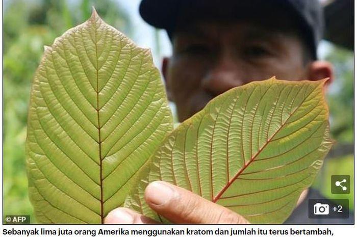 Kratom daun yang dielukan sebagai obat ajaib dari Kalimantan