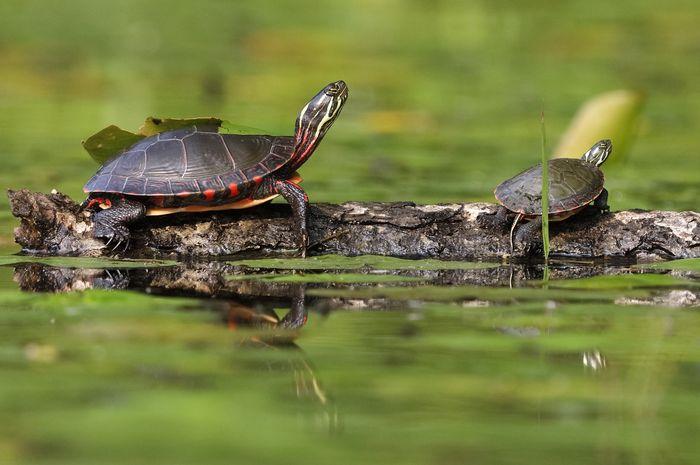 Kura-kura akan berjemur di bawah sinar matahari untuk menghangatkan dan meregangkan otot-otot mereka.