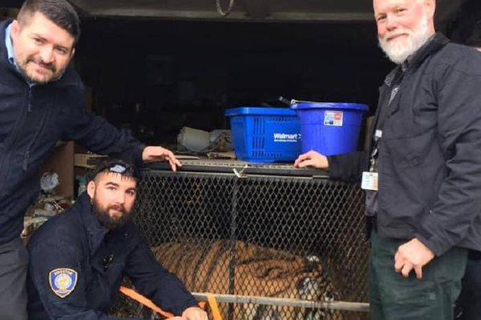 Petugas kepolisian mengamankan harimau yang ditemukan oleh perokok ganja.