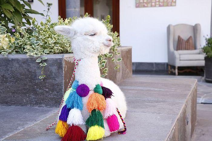 Panchita, Alpaca penghuni salah satu hotel di Peru.