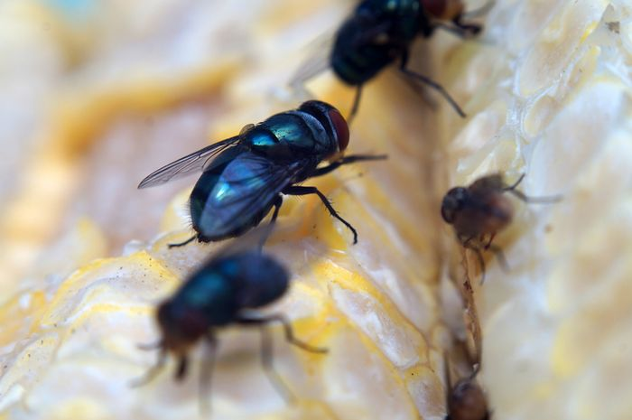 Populasi lalat meningkat akibat perubahan iklim sehingga menambah kasus keracunan makanan.