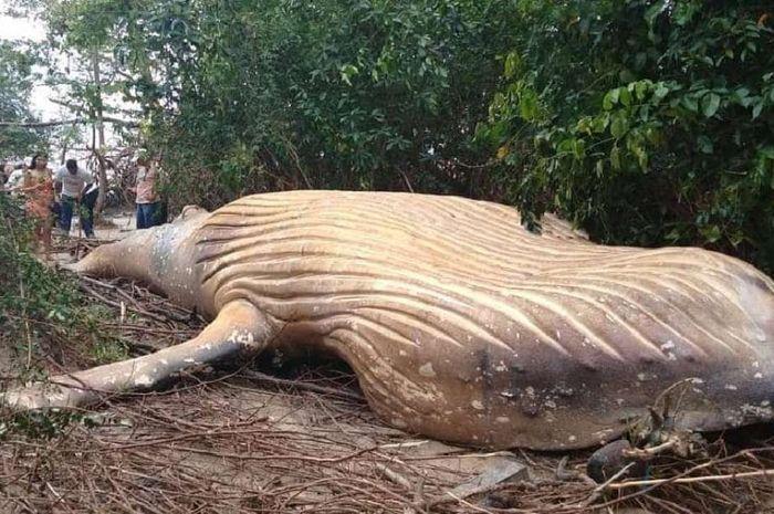 Paus bungkuk yang terdampar di hutan Amazon.