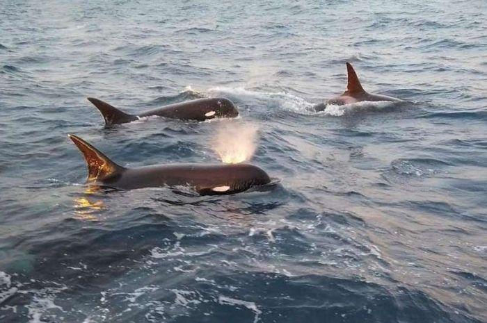 Paus yang diduga spesies paus pembunuh baru.