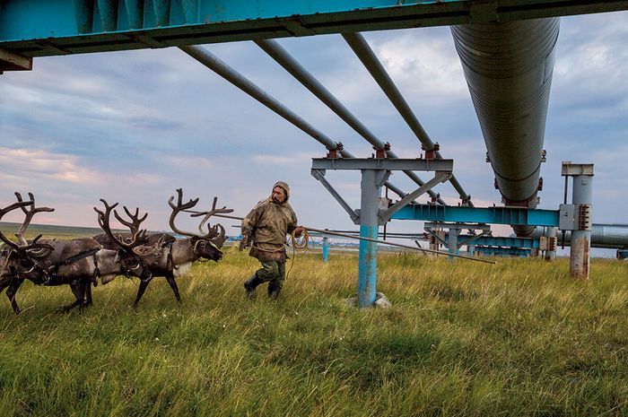 Nyadma Khudi, penggembala Nenet, memandu rusa kutub melewati bawah jalur pipa di ladang gas Bovanenkovo di Semenanjung Yamal, Siberia. Ketika jalur pipa gas masih baru, rusa-rusa itu enggan mendekat. Kini, mereka mengikuti tanpa ragu untuk mencapai padang rumput musim panas di utara.