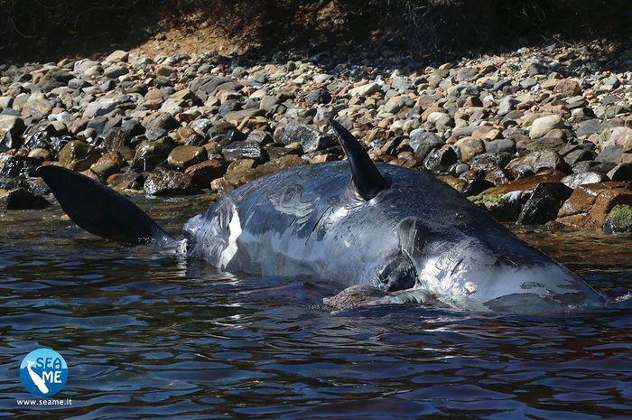 Bangkai paus yang terdampar di Italia.