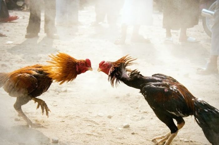 Hasil gambar untuk sabung ayam