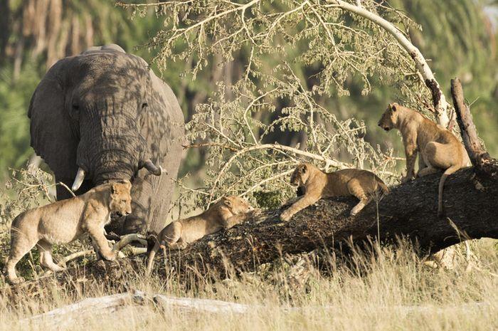 gajah dan kawanan singa.