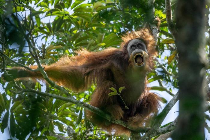 Orangutan Tapanuli tertangkap kamera di habitatnya di Sumatra. Orangutan merupakan salah satu spesies terancam punah karena habitatnya rusak akibat deforestasi.
