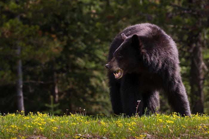 Beruang hitam.