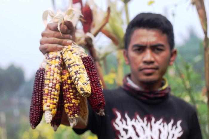 Seorang pekerja kebun memerlihatkan hasil panen jagung warna warni yang berhasil dibudidayakan di kebun Canari Farm, Cianjur, Jawa Barat, Minggu (23/6/2019). Varian  Jagung yang sedang menjadi tren di Eropa dan Amerika Latin ini memiliki harga yang cukup tinggi, di tingkat petani harganya mencapai R