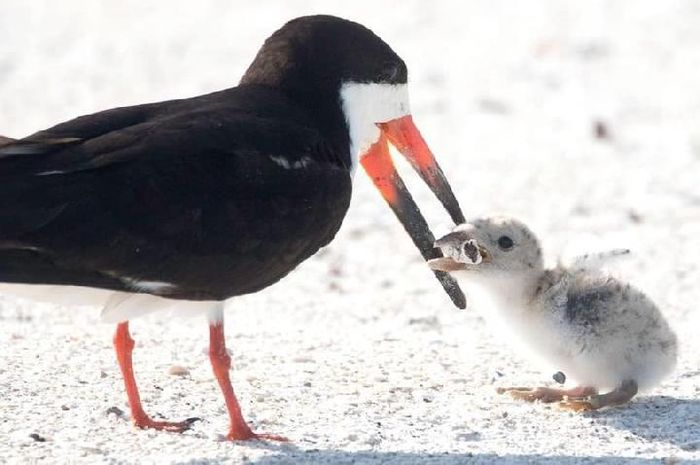 Induk burung memberikan puntung rokok kepada anaknya karena mengira itu makanan mereka.