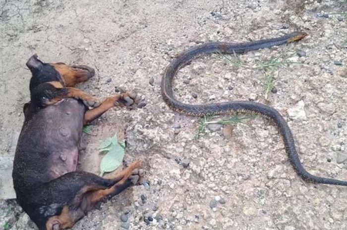 Anjing dan ular yang tewas dalam pertarungan
