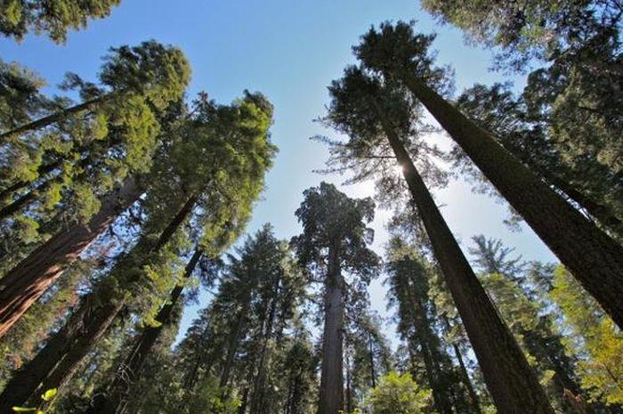 Ilustrasi pepohonan di hutan.