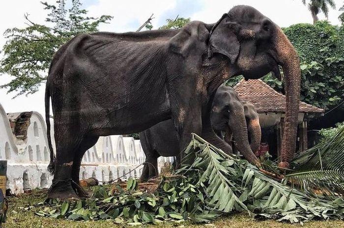 Gajah Tikiiri yang memiliki tubuh sangat kurus.