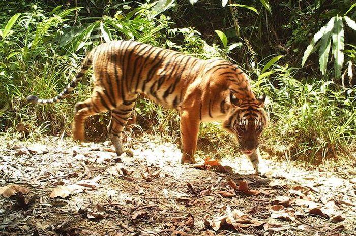 seekor harimau sumatera terekam melalui kamera jebak