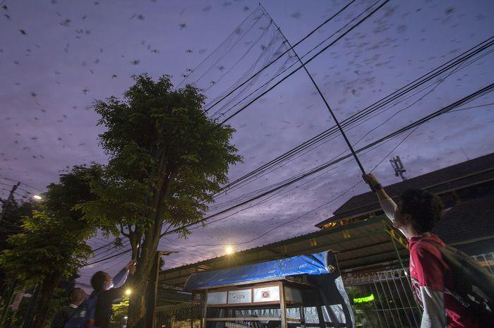 Paguyuban Pengamat Burung Jogja memakai jaring kabut memerangkap burung migran layang-layang asia. Mereka akan memasangkan cincin di burung yang melintas di Yogyakarta dalam musim migrasi September – Maret.