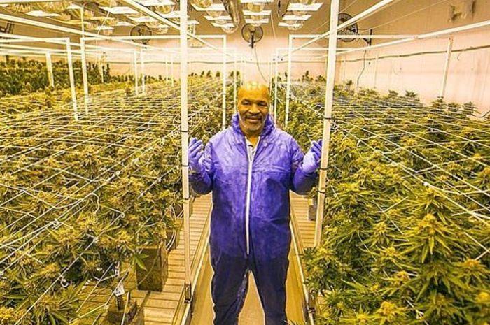 Mike Tyson berpose di pertanian cannabis miliknya di Tyson Ranch, California.
