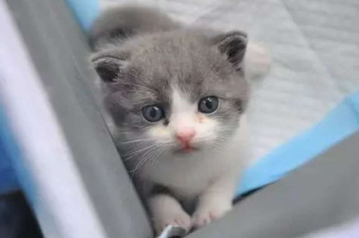 Garli 2.0, kucing hasil kloning pertama di Tiongkok.