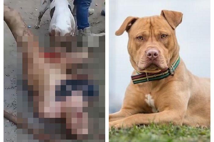 Instan Karma Usai Memperkosa Seorang Gadis Kemaluan Pria Ini Digigit Anjing Pit Bull Hingga Putus Semua Halaman Sosok