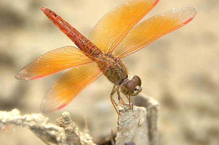 Brachythemis contaminata, capung sayap oranye.