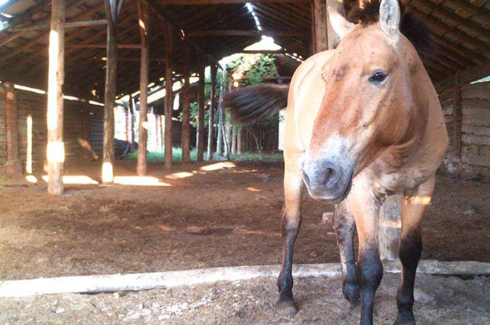 Kuda Przewalski.