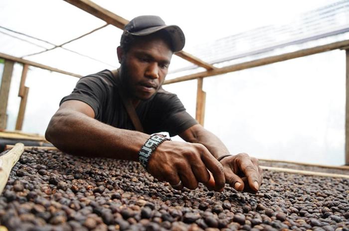 Pekerja menyortir biji kopi di rumah produksi pengolahan Kopi Tiyom, Gunung Susu, Distrik Hubikosi, Wamena, Kabupaten Jayawijaya, Papua.
