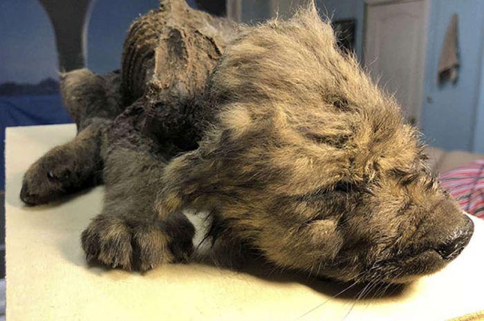 Anjing prasejarah yang ditemukan dalam keadaan utuh.