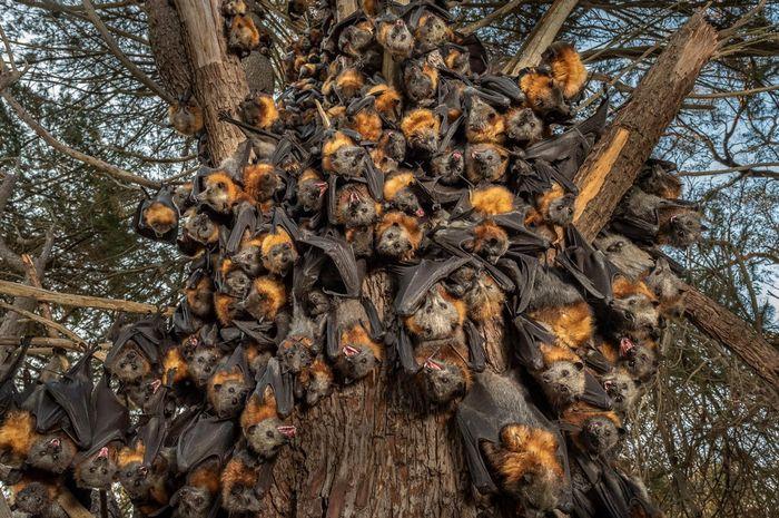 Puluhan kelelawar rubah terbang berkepala abu-abu yang sekarat, berkumpul bersama agar bisa bertahan hidup pada suhu 43 derajat celsius di Australia.
