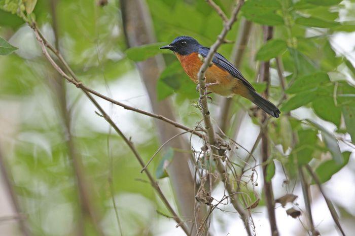 Salah satu spesies burung penyanyi yang ditemukan di pedalaman Indonesia.