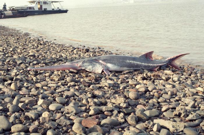 Chinese paddlefish terakhir terlihat pada 2003. Kini, spesies ini telah dinyatakan punah.