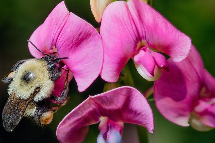 Lebah bumblebee sedang membantu penyerbukan bunga