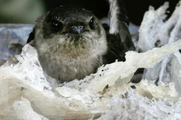 Pantas Harganya Fantastis Sarang Burung Walet Ternyata Betul