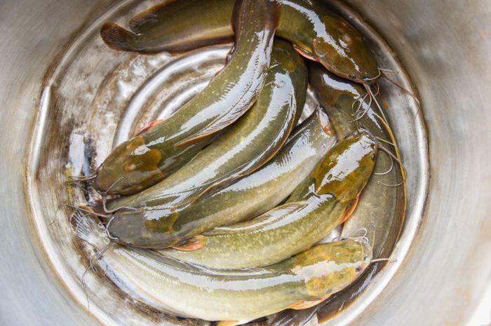 Sering Kali Tak Disukai Orang Ternyata Ikan Lele Bisa Membuat Wajah Mengalami Perubahan Drastis Ini Semua Halaman Nakita
