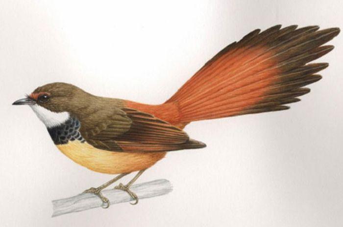 Salah satu burung yang ditemukan oleh para peneliti, Rhipdura habibiei.