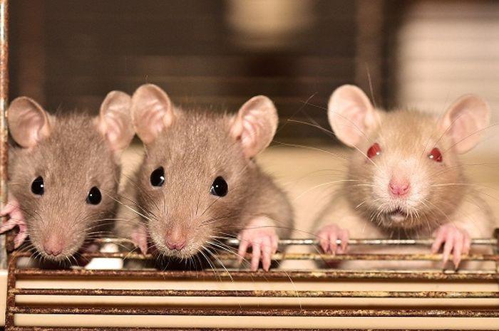 Setelah virus corona, China kembali dipusingkan dengan virus yang berasal dari tikus bernama hantavirus atau virus hanta.