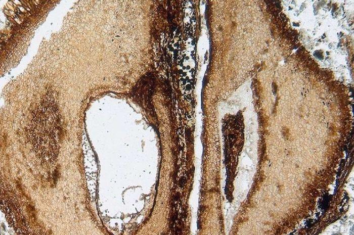 Spesimen dari mahoni tertua di dunia, bernama Manchestercarpa vancouverensis.