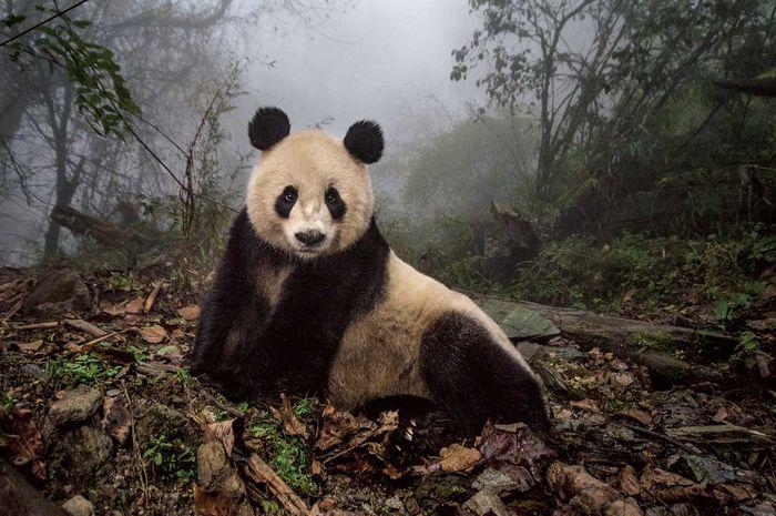 Ye Ye, panda raksasa berusia 16 tahun, tengah bersantai di wilayah menyerupai alam liar di pusat konservasi Suaka Alam Wolong, Tiongkok. Namanya, yang terdiri dari abjad yang merepresentasikan Jepang dan Tiongkok, merupakan bentuk penghormatan terhadap persahabatan kedua bangsa itu.