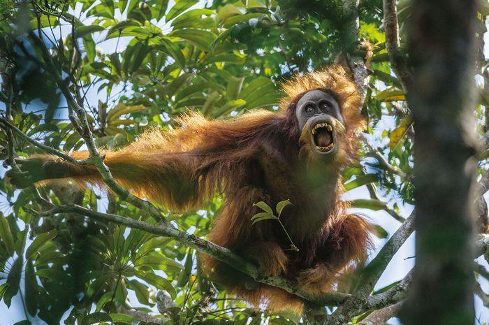 Seekor mawas jantan menantang saingannya dengan mengernyingkan gigi dan mengguncang dahan. Mawas, atau orangutan sumatra, kini diakui sebagai spesies sendiri dan berjumlah sekitar 14.000 di alam liar.