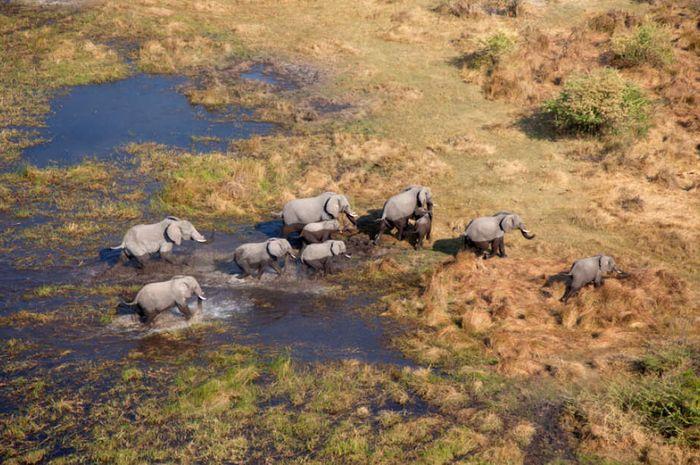 Gajah-gajah di Okavango Delta, Botswana.